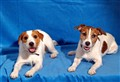 She and He Jack Russels