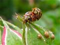 Ladybirds X 2