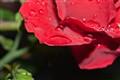 rosa na ruzi ljeto 2010