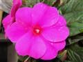 IMGP5129 Charming flower
