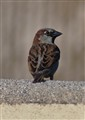 Your friendly neighborhood House Sparrow