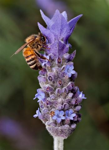 Bee & lavendar (2)