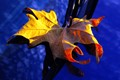 A dry leaf fell on my blue car. The nature made a perfect composition with colours.