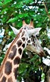 Giraffe Snacking