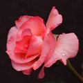 Rose Portrait - Post Evening Rain