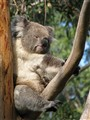 Koala waking from a snooze