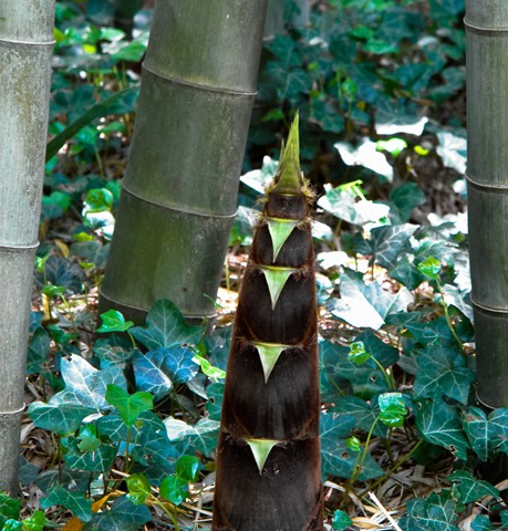 Young bamboo plant