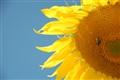 Brickworks Sunflower