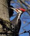 Pileated woodpecker extending its tongue