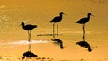 American avocets feeding on Brine Flies at Sunrise