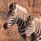 Zebras01_sm