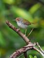 Common Tailorbird