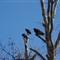 Murrayville Vultures