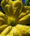 yellow flower of the cucumber