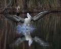 Pelican touchdown