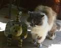 wild wood -tender cat