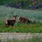 Red Deer at Sunset,Sanna Bay