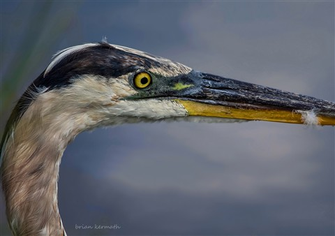 Great blue heron (Ardea herodias), close head shot