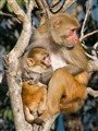 Rhesus Macaque with Baby