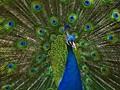 Peacock Displays His Beauty
