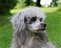 Princess poodle