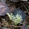White Staghorn Fungus (sml)