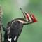 Pileated Woodpecker (male):