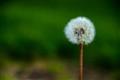 Dandelion in Whistler