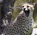 cheetah_04