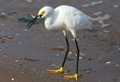 Snowy Egret with Meal