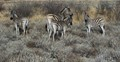 Curious Zebras at Etosha Pan in Northern Namibia