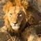 Lion_8560