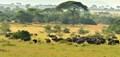 AF4_2941 Cape Buffalo, Western Serengeti