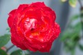 Smooth red rose after rain