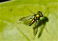 Iridescent Fly