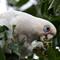 Little Corella  ( Cacatua sanguinea ): Feeding ornamental pear