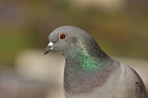 Pigeon portraits