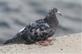 Grey life bird
