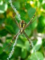 X - St Andrew's Cross Spider