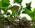 New Born Egret In The Nest