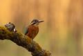 """Kingfishers """"Alcedinidae"""""""