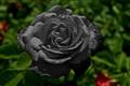 'Black' Rose