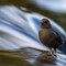 American Dipper: One of the most challenging shots I've ever tried, let alone succeeded at.