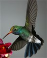 Broadbill Hummingbird with Pollen Cap
