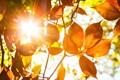 Back lit leafs