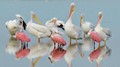Pelicans and Spoonbills
