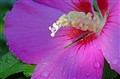 Hibiscus after rain