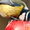 Detailed close up blue tit with beak inside a red apple: Stunning detailed blue tit wild bird eating inside a red apple. Very close up on an spring day with out of focus background. Cyanistes caeruleus garden bird
