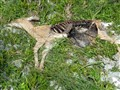 coyote or bear kill