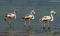 Three stooges (Flamingos)
